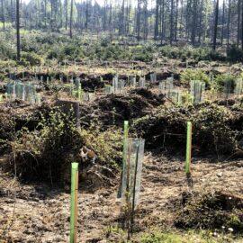 Neu Bepflanzung der Sturmflächen